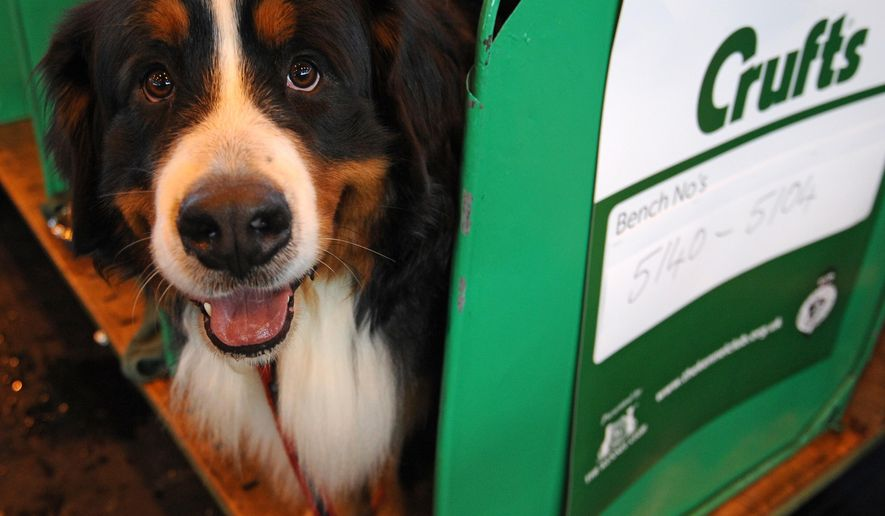 A Bernese mountain dog waits in its enclosure before competing on the second day of Crufts dog show at the National Exhibition Centre in Birmingham, England, Friday March 6, 2015. First held in 1891, Crufts is said to be the largest show of its kind in the world, the annual four day event features thousands of dogs competing for the coveted title of 'Best in Show'. (AP Photo/Rui Vieira)