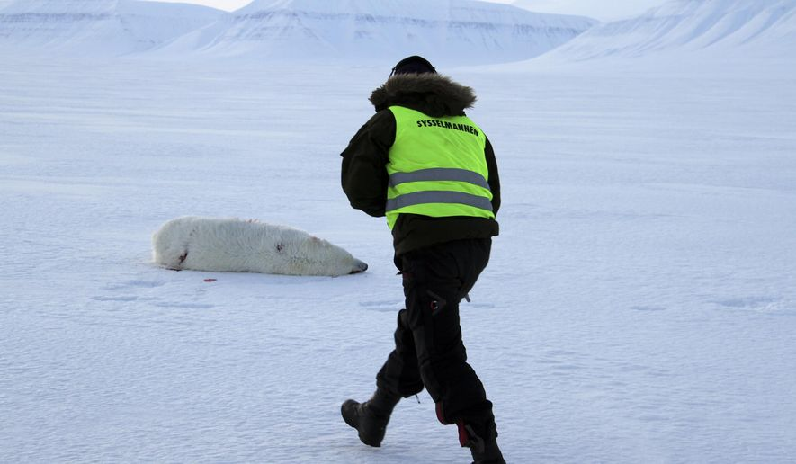 A local representative of the Norwegian archipelago of Svalbard walks toward the dead body of a & Polar bear attacks tent in Norwayu0027s Arctic injures tourist ...
