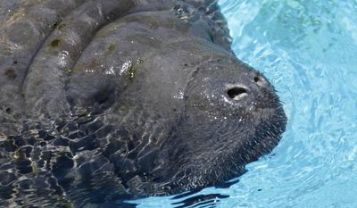 Republicans say the Environmental Protection Agency erred by not consulting with the Fish and Wildlife Service in designing its so-called Clean Power Plan because the proposal almost surely will force the closure of coal-fired power plants and subsequently reduce the warm water Florida's manatees need to survive during cold winter months. (Associated Press)