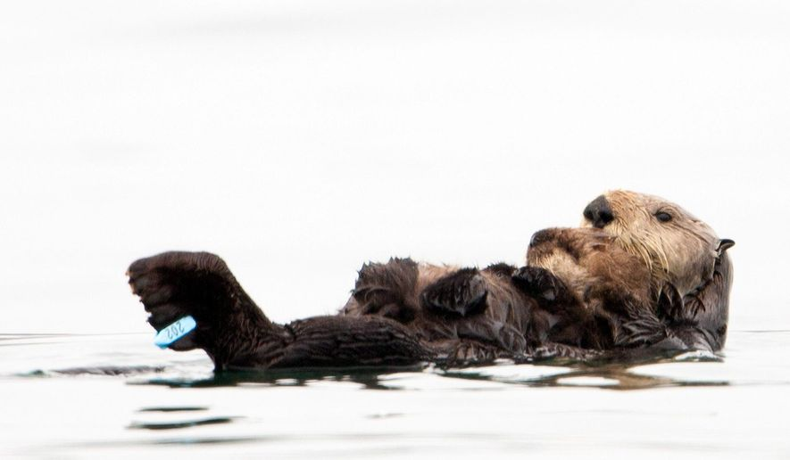 In this photo taken by the U.S. Geological Survey and provided by the California Department of Fish and Game, a sea otter holds her pup at Seacliff State Beach near Aptos, Calif., on, Sept. 10, 2012 file photo. The sea otter, known as Olive, has amazed researchers by becoming the first sea otter not only to survive a dunking in oil but then also go on to deliver a healthy pup. The sea otter that became an ambassador for her species after a remarkable recovery from an oil tar soaking off the coast of Northern California has been killed by a shark. The California Department of Fish and Wildlife says Olive was found dead by a beachgoer on Sunday March 22, 2015. (AP Photo/U.S. Geological Survey, Joe Tomoleoni, File)