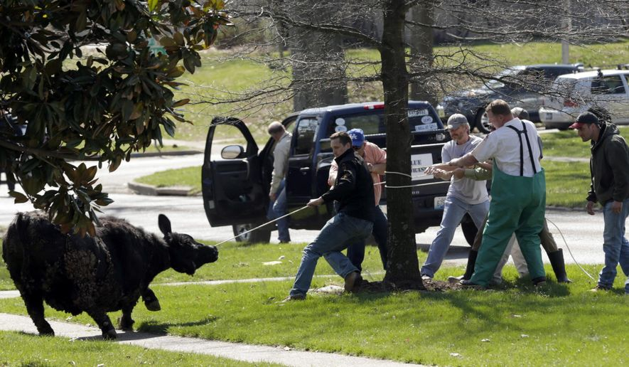 Adam Menker, center, lassos a steer on Cooper Dr., Tuesday, March 31, 2015, in Lexington, Ky. The steer escaped from the University of Kentucky College of Agriculture. (AP Photo/Lexington Herald-Leader, Pablo Alcala)