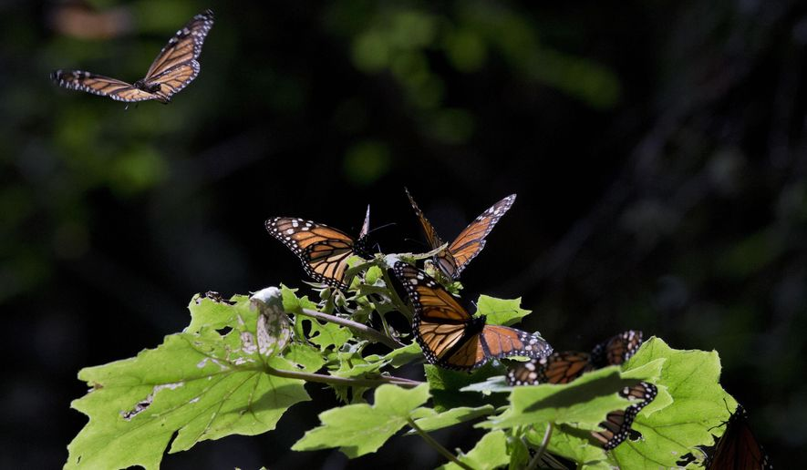 In this Jan. 4, 2015 file photo, a Monarch butterfly takes flight from a plant leaf in the Piedra Herrada sanctuary, near Valle de Bravo, Mexico. The population of the species has experienced a 90 percent decline in population along its migration route from Mexico because of habitat destruction due in part to weed killers and herbicide-resistant plants like those Monsanto and other agribusinesses offer. Agribusiness giant Monsanto Co. said Tuesday, March 31, 2015 that it will commit $4 million to help stem the decline of monarch butterflies. (AP Photo/Rebecca Blackwell, File)