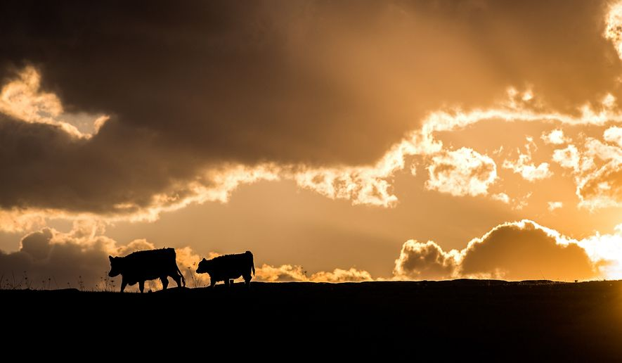 Cows graze in the sunset off of Lee Highway in Mount Sidney, Va., on Tuesday, March 31, 2015. (AP Photo/Daily News-Record, Austin Bachand)