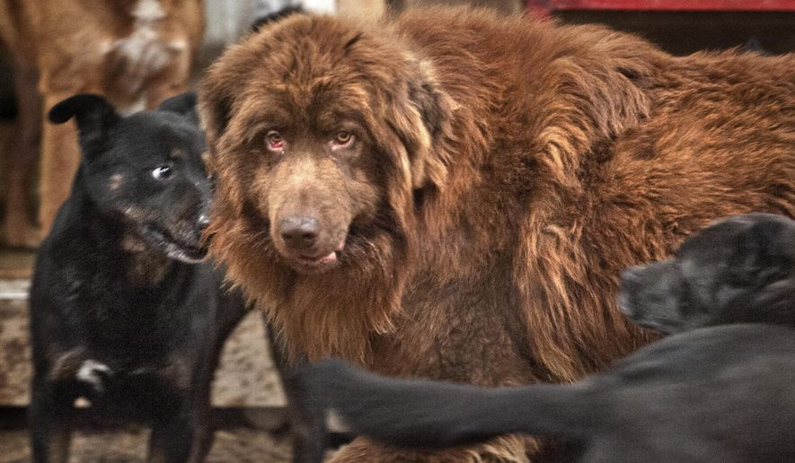 In this Monday, March 30 2015 photo, Shaggy, the stray Newfoundland-mix caught in March after months wandering Grand Rapids-area neighborhoods, mingles with other dogs at the Devoted Barn in Newport, Mich. Melissa Borden of the Devoted Barn animal rescue specializes in working with feral dogs to get them ready for adoption. (AP Photo/The Grand Rapids Press, Chris Clark) ALL LOCAL TELEVISION OUT; LOCAL TELEVISION INTERNET OUT