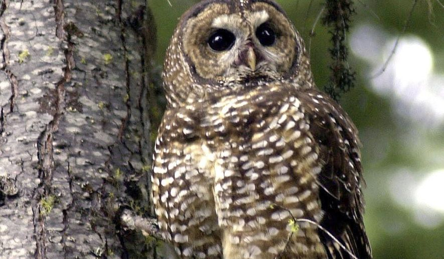 FILE - A northern spotted owl named Obsidian by U.S. Forest Service employees, sits in a tree in the Deschutes National Forest near Camp Sherman, Ore., in this May 8, 2003 file photo. The U.S. Fish and Wildlife Service has agreed to consider a petition from a conservation group to change the Endangered Species Act listing for the owl from threatened to endangered. The process will take more than two years. (AP Photo/Don Ryan, file)