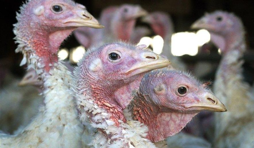 FILE - In this Nov. 2, 2005 file photo, turkeys are pictured at a turkey farm near Sauk Centre , Minn. A deadly strain of bird flu has reached the Midwest, killing or requiring hundreds of thousands of turkeys to be euthanized. (AP Photo/Janet Hostetter,File)