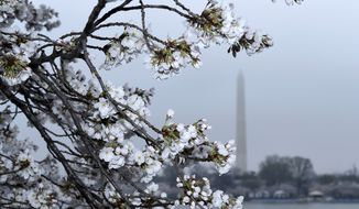 Cherry Blossoms are in bloom around the Tidal Basin across from the Washington Monument in Washington, in this Thursday, April 9, 2015, file photo. (AP Photo/Susan Walsh) ** FILE **