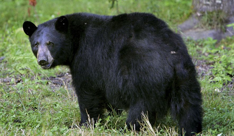 A black bear walks across the ground in Lyme, N.H., in this Wednesday, Aug. 1, 2007, file photo. (AP Photo/Cheryl Senter, File)