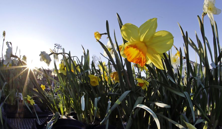Daffodils are on sale at Mahoney's Garden Center in Winchester, Mass., Wednesday, April 15, 2015. The barrage of snow and cold in New England this winter has pushed back the gardening season and left behind damaged bushes, trees and greenhouses and gardeners eager to get outside and in the dirt. The growing season is about two weeks behind schedule, following a winter without a usual thaw. (AP Photo/Elise Amendola)