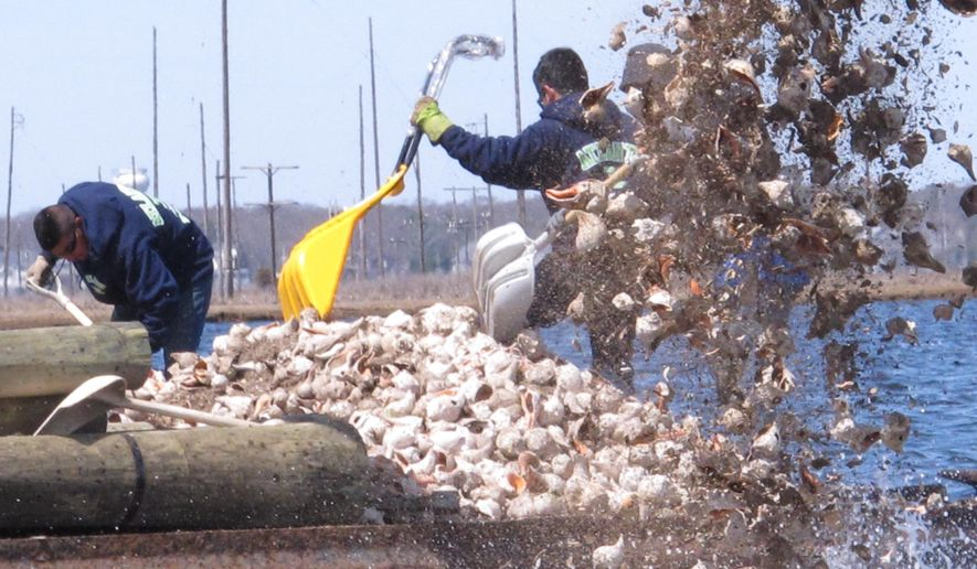 In this April 16, 2015 photo, a hydraulic shovel and workers with hand-held shovels dump whelk shells into Barnegat Bay in Berkeley Township, N.J. as part of a project by the American Littoral Society environmental group to re-establish an oyster colony in the bay. Oyster seedling will attach themselves to the whelk shells and begin to grow. The bumpy colonies should also help blunt the impact of waves from future storms like Superstorm Sandy.(AP Photo/Wayne Parry)