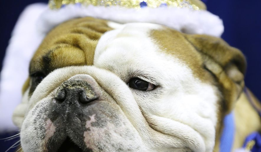 Tank, owned by Duane Smith, of Des Moines, Iowa, sits on the throne after being crowned the winner of the 36th annual Drake Relays Beautiful Bulldog Contest, Sunday, April 19, 2015, in Des Moines, Iowa. The pageant kicks off the Drake Relays festivities at Drake University where a bulldog is the mascot. (AP Photo/Charlie Neibergall)