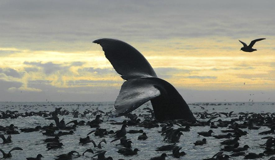 This Sept. 7, 2005 photo released by National Oceanic and Atmospheric Administration shows a humpback whale diving among an aggregation of short-tailed shearwaters in Cape Cheerful, near Unalaska, Alaska. The federal government is proposing removing most of the world's humpback whale population from the endangered species list. National Oceanic and Atmospheric Administration Fisheries announced on Monday, April 20, 2015 that they want to reclassify humpbacks into 14 distinct populations, and remove 10 of those from the list. (Brenda Rone/National Oceanic and Atmospheric Administration via AP)
