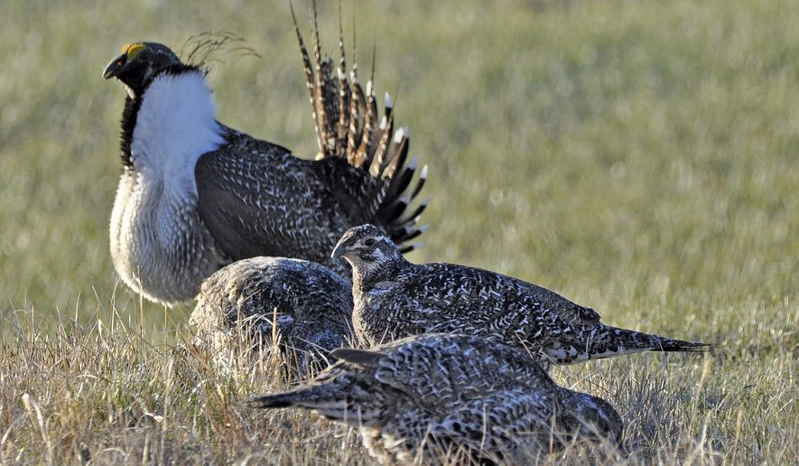 This March 1, 2010 photo released by the U.S. Fish and Wildlife Service shows a bistate distinct population of the greater sage grouse, rear, as he struts for a female at a lek, or mating ground, near Bridgeport, Calif. A bird found only in California and Nevada no longer faces the threat of extinction and doesn't require federal protection, officials said just months before a more-sweeping decision is due on whether to declare other sage grouse threatened or endangered in 11 Western states. (Jeannie Stafford/U.S. Fish and Wildlife Service via AP)