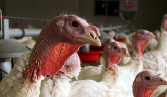 In this 2012 photo provided by Bethany Hahn is a flock of turkeys at a Minnesota poultry farm. Midwestern states are struggling to contain a virulent strain of bird flu that has doomed millions of turkeys and chickens since March. (Bethany Hahn via AP) ** FILE **