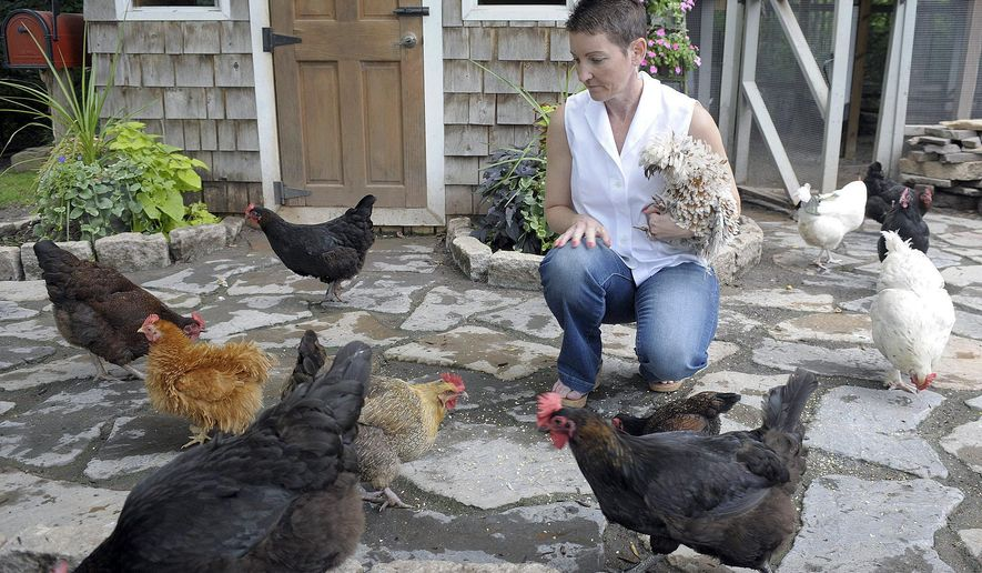 In this August 15, 2014 photo, Kathleen Mormino feeds some of her chickens in the backyard of her home in Suffield, Conn. With bird flu still a significant problem in the Midwest, the East Coast is now bracing for migratory treks of waterfowl that could put numerous states with poultry farms and backyard chicken operations at risk of an outbreak. (Jim Michaud/Journal Inquirer via AP)