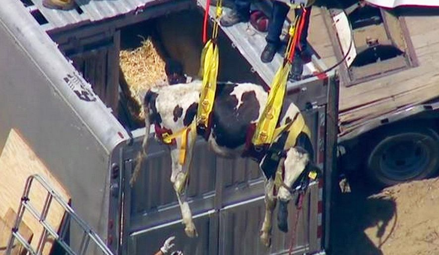This still frame from video provided by KABC-TV in Los Angeles shows a cow being hoisted from a trailer that overturned on Interstate 210 in the Sylmar area of Los Angeles on Wednesday, April 29, 2015. The crash is under investigation but authorities say the truck had a flat tire. (KABC-TV via AP) MANDATORY CREDIT; TV OUT