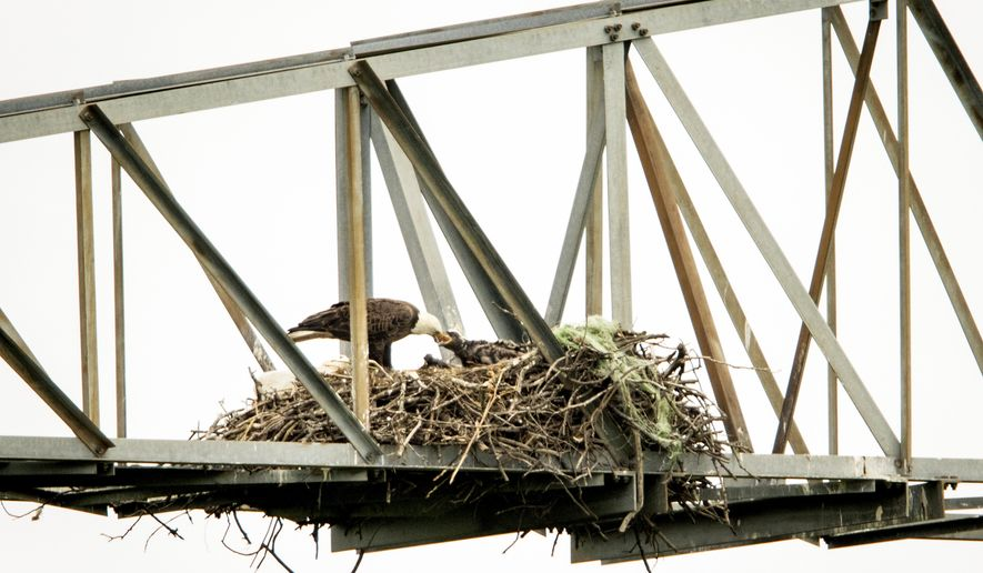 ADVANCE FOR SUNDAY MAY 3, 2015 - An eagle feeds a young eaglet at their nest atop a purpose-built tower at the John Bunker Sands Wetland Center on Wednesday, April 8, 2015, in Seagoville, Texas. (Smiley N. Pool/The Dallas Morning News via AP)