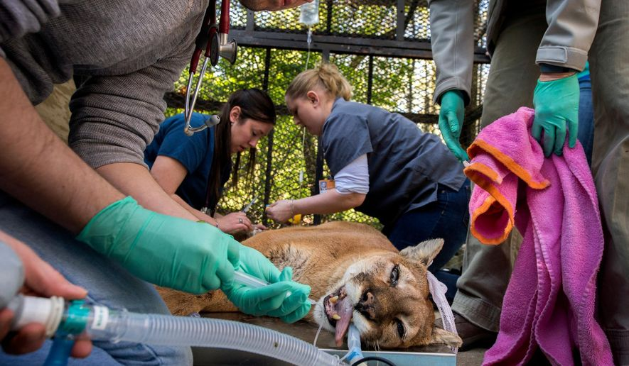 In this April 28, 2015 photo University of Illinois College of Veterinary Medicine student Jon Bresolin, left, works on a  cougars teeth as fellow students perform additional tests during an animal wellness check at Wildlife Prairie Park in Peoria, Ill. Much like the new thinking on health care for humans, animals at Prairie Park get wellness checks from fourth year U of I veterinary students. The parks two cougars Tipper and Hillary were the focus of Tuesday's check-ups. (Fred Zwicky/Journal Star via AP)