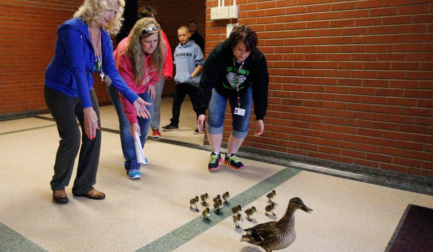 In this photo taken Thursday, April 30, 2015, herded by teachers, from left, Jo Lokken and Tracy Larsen, and special needs assistant Ali Fischer, a mother duck and her babies are escorted from their nest in the courtyard at Lewis and Clark Middle School to nearby Spring Creek Park in Billings, Mont. (Casey Page/The Billings Gazette via AP)
