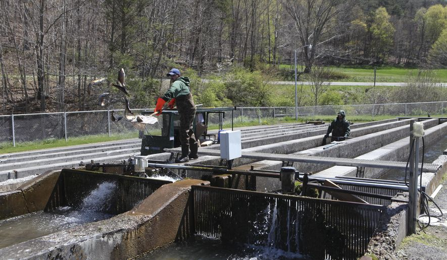 ADVANCE FOR USE MONDAY, MAY 4 - In this photo taken April 23, 2015, Nate Walmsley, left,and Grayson Wootten move trout from one raceway into another at the Paint Bank Fish Cultural Station in Paint Bank, Va. The hatchery is making renovations that will help more fish stay healthier longer. (Stephanie Klein-Davis/The Roanoke Times via AP) LOCAL TELEVISION OUT; SALEM TIMES REGISTER OUT; FINCASTLE HERALD OUT;  CHRISTIANBURG NEWS MESSENGER OUT; RADFORD NEWS JOURNAL OUT; ROANOKE STAR SENTINEL OUT