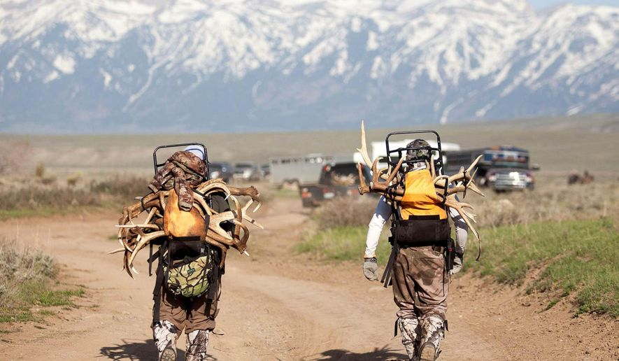 In this May 1, 2015 photo, antler collectors walk near the border of the National Elk Refuge and the Bridger-Teton National Forest in Wyoming. The collectors crossed the Gros Ventre River from Grand Teton National Park in the early morning hours to get to Bridger-Teton National Forest, where antler collecting is allowed from May 1 to Dec. 31. Despite the high water, federal officials didn't intervene to prevent the crossing on May 1, 2015, saying wilderness activities are undertaken at one's own risk. (Ashley Wilkerson/Jackson Hole News&Guide via AP)