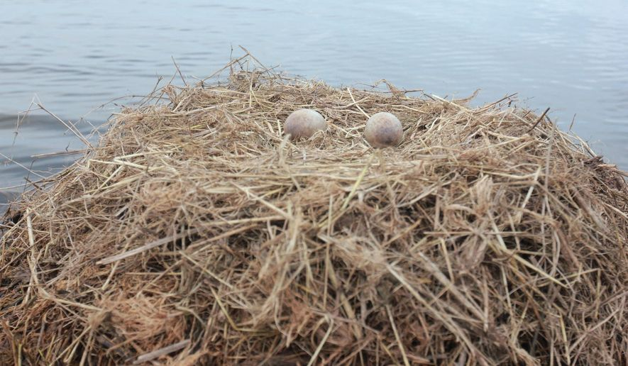 In this April 9, 2015 photo, provided by Louisiana Department of Wildlife and Fisheries, whooping crane eggs sit in a nest in southwest Louisiana. Two young whooping crane couples laid eggs this year, bringing hope and disappointment to biologists trying to establish a flock of the elegant endangered birds. (Gabe Giffin/Louisiana Department of Wildlife and Fisheries via AP)