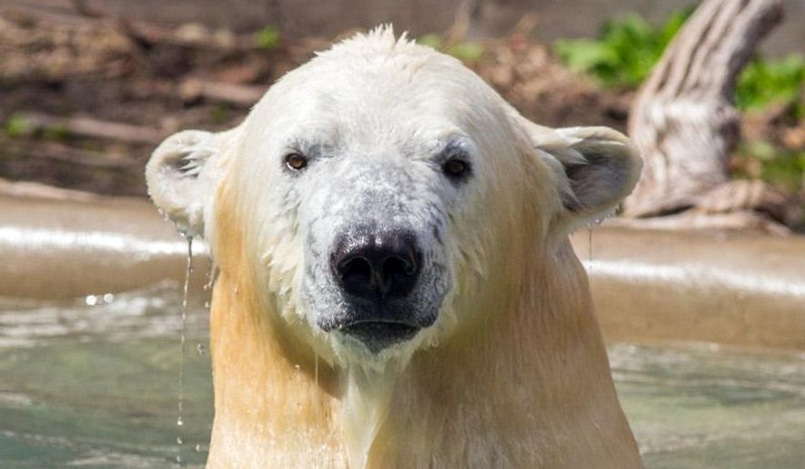 This April 30, 2015 photo provided by the St. Louis Zoo shows Kali, a 2 1/2-year-old, 850-pound male polar bear shortly before he left Buffalo (NY) Zoo for his new home, the soon-to-open McDonnell Polar Bear Point at the Saint Louis (Mo) Zoo. (Kelly Ann Brown/Buffalo Zoo via AP)