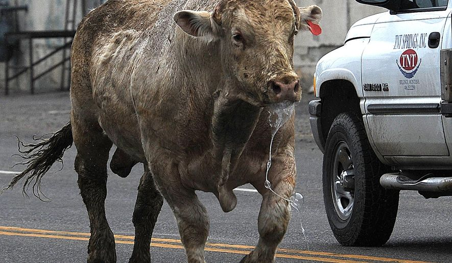 An aggressive bull runs in traffic down First Avenue South as Billings police and Public Auction Yard staff chase, and eventually shoot it in Billings, Mont., Friday, May 8, 2015.  (Larry Mayer/The Billings Gazette via AP)