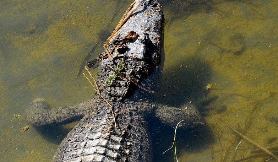 In this April 24, 2015 photo, Grace, an 80-pound alligator, lies in a pool meant for smaller alligators at the Critchlow Alligator Sanctuary in Athens, Mich. Grace is missing a foot and would be bullied if she was in a pool with alligators her size. (Dave Wasinger/Lansing State Journal via AP) NO SALES