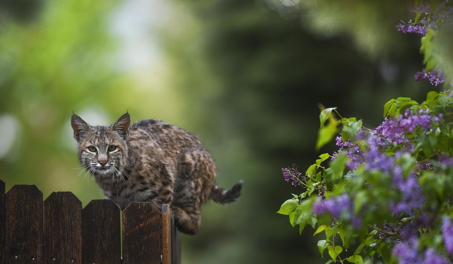A wet bobcat perches on top of a fence during a  rain storm on Saturday, May 9, 2015 in Colorado Springs, Colo. Forecasters also issued a winter storm warning for the northern and central Colorado mountains, with up to 16 inches of snow by Sunday. (Michael Ciaglo/The Gazette via AP) MAGS OUT; MANDATORY CREDIT