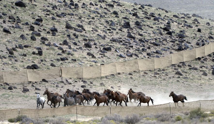 FILE - In this July 28, 2014 file photo, a herd of wild horses run  across Blawn Wash about 35 miles southwest of Milford, Utah.  The U.S. Bureau of Land Management's plan to inject 50 wild horses in western Utah with contraception drugs to help control the population is being applauded by one wild horse advocacy group but derided by another.  (Al Hartmann/The Salt Lake Tribune via AP) DESERET NEWS OUT; LOCAL TELEVISION OUT; MAGS OUT