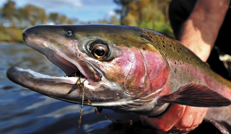 This undated photo shows a steelhead caught in the Rogue River near Central Point, Ore. With Oregon's snowpack at a tiny fraction of normal, streamflows are projected to be low this summer. State fish biologists say that will likely mean lower returns of adult salmon and steelhead in coming years, because more young fish will die migrating to the ocean and rearing over the summer than in years with high water in riversr.(Jamie Lusch/ Mail Tribune via AP)