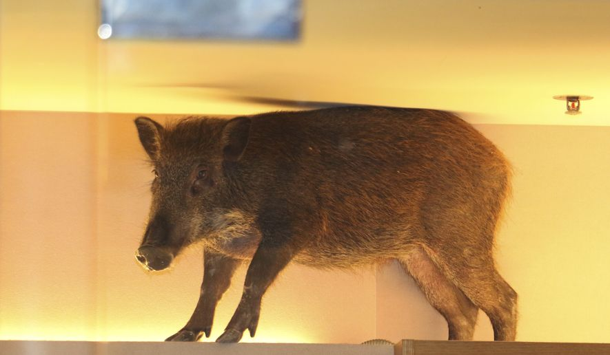 In this photo taken Sunday, May 10, 2015 photo, a wild boar is seen on top of a display rack at a children's clothing store in a mall in Hong Kong. (AP Photo/Apple Daily)