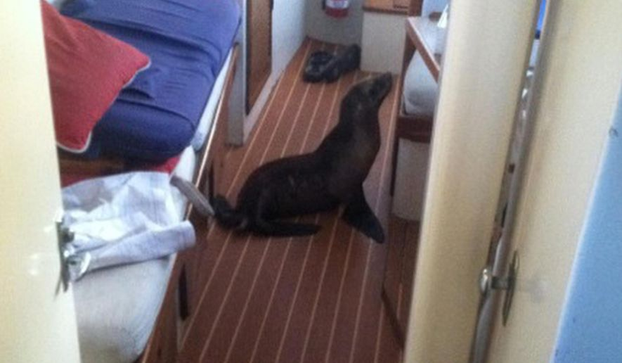 "This Sunday, May 10, 2015 photo provided by Michael Duffy, shows a 35-pound sea lion pup that found it's away aboard a yacht in San Diego, Calif. Mother's Day may have been a bit of a bust for the baby sea lion. Michael Duffy, 48, said he was on his 41-foot Kettenburg boat ""Elixir"" at the San Diego Yacht Club when he awoke at 2:30 a.m. Sunday to sneezing and snoring. Duffy said the pup was probably looking for his mom but found him instead. He softly coaxed the baby sea lion back up the stairs, off the boat and into the water. Duffy, an advertising copywriter, said he nicknamed the pup ""Gilligan"" after the character on ""Gilligan's Island"" who The Skipper called his little buddy. (Michael Duffy via AP)"