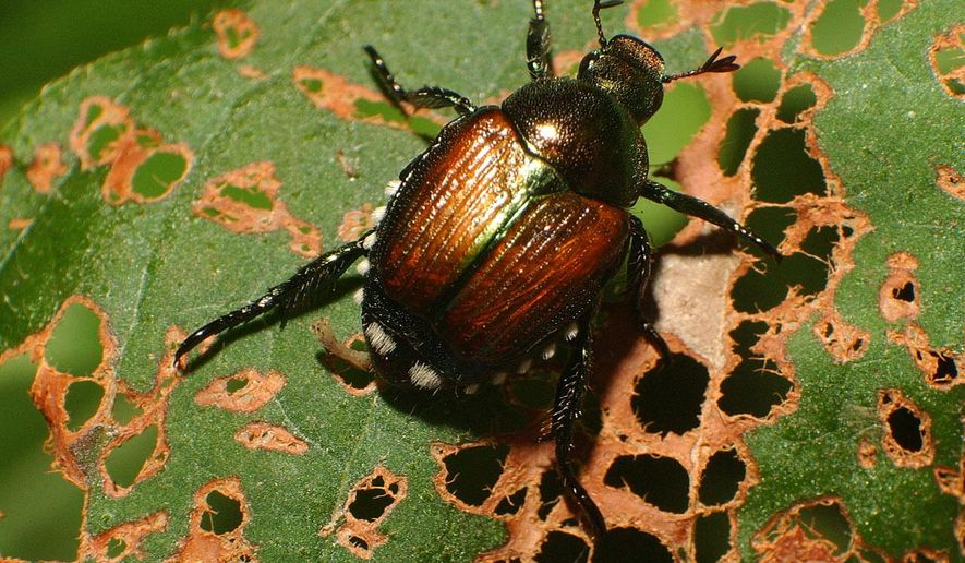 FILE - In this July 25, 2003, file photo, a Japanese beetle makes its way up a leaf it has helped skeletonize in Columbus, Ind. North Dakota Agriculture Commissioner Doug Goehring is urging people who buy nursery stock to check for Japanese beetles. The beetles have been found in North Dakota every year since 2012, but Goehring says officials don't believe large numbers of the pest are yet in the state. The Agriculture Department also is seeking volunteers to help place traps around the state. (Joe Harpring/The Republic via AP, File)