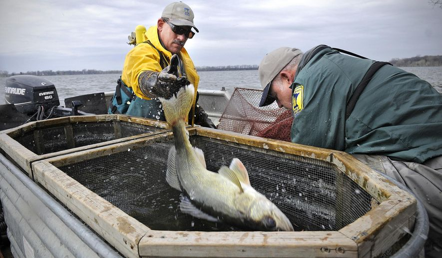 ADVANCE FOR SATURDAY MAY 16, 2015 AND THEREAFTER- Minnesota Department of Natural Resources staff members Brad Carlson, left, and Dave Coahran remove walleyes Thursday, April 16, 2015 from nets set on Diamond Lake near Atwater, Minn. The fish are transported to the DNR's hatchery in New London where eggs are collected, fertilized and hatched. (Dave Schwarz/The St. Cloud Times via AP)