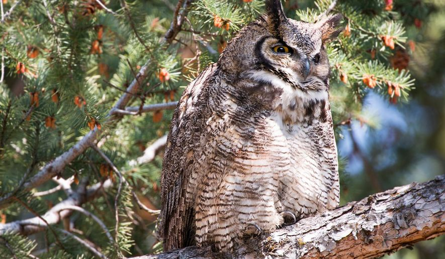 This April 30, 2015 photo, shows a great horned owl in a pine tree in Bozeman, Mont. Great horned owls breed every year and generally give birth to two or three owlets. The mother incubates the chicken-sized eggs during March. The fledglings hatch and emerge from the nest in late March or early April. (Ben Pierce/Bozeman Daily Chronicle via AP)