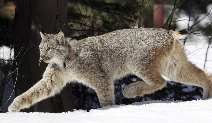FILE - In this April 19, 2005 file photo, a Canada lynx heads into the Rio Grande National Forest after being released near Creede, Colo. Researchers in Northern New England have found breeding populations of the Canada lynx for the first time in northern Vermont and New Hampshire in recent years and are continuing to survey the threatened predator. (AP Photo/David Zalubowski, File)