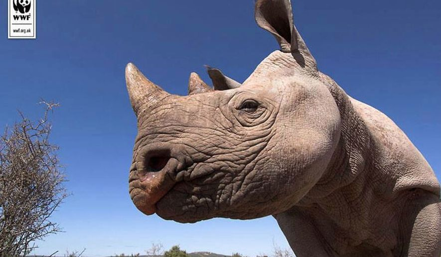 A rhino, one of the world's most endangered species due to ...