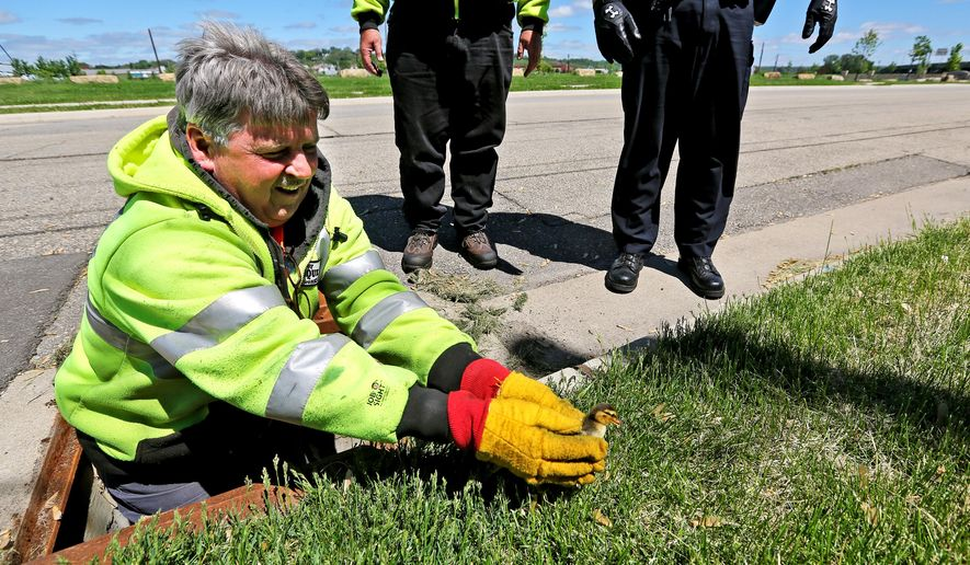 CORRECTS NAME OF EMPLOYEE TO BILL KELLY - City of Dubuque employee Bill Kelly rescues one of ten baby ducks that fell into a storm drain Monday May 18, 2015 in Dubuque, Iowa.   (Dave Kettering/Telegraph Herald via AP)