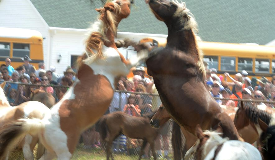 In this July 30, 2014 photo, a pair of Chincoteague pony stallions scuffle after their 89th annual Chincoteague Pony Swim in Chincoteague, Va. At right is the Chincoteague pony known as Surfer Dude. Volunteer Saltwater Cowboys found Surfer Dude's remains on May 13, 2015, on the southern end of Assateague Island, the wind-swept barrier island off the Eastern Shore of Virginia and Maryland. He was 23 and one of the most popular Chincoteague ponies. He likely died of natural causes, a member of the Chincoteague firefighters known as saltwater cowboys said Tuesday. (Jay Diem/The Daily Times via AP)  NO SALES