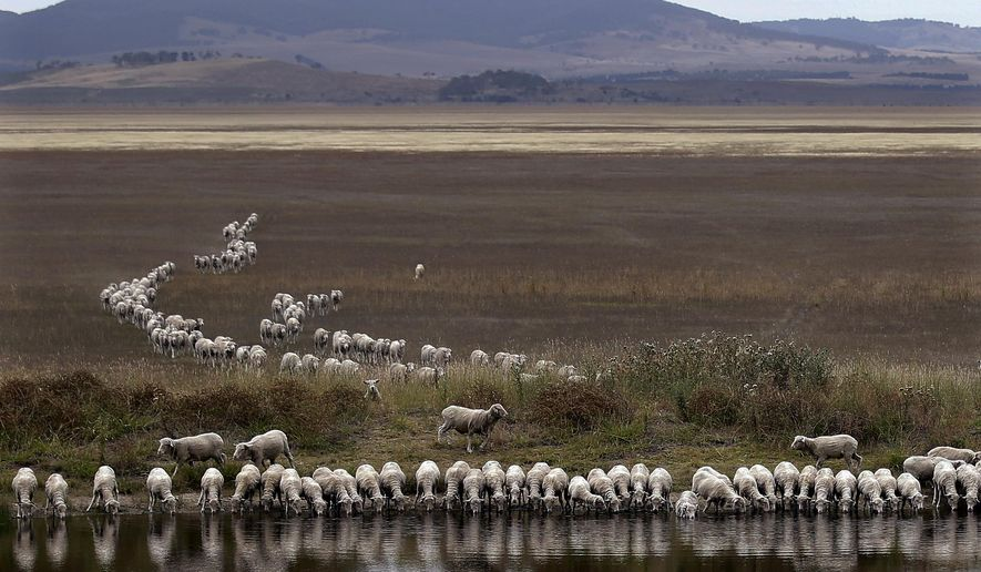 FILE - In this March 3, 2015, file photo, a flock of sheep drink from a dam at the edge of dried-up Lake George, about 250 kilometers (155 miles) southwest of Sydney. On the world's driest inhabited continent, drought is a part of life, with the struggle to survive in a land short on water a constant thread in the country's history. The U.S. state of California is looking to Australia for advice on surviving its own drought. (AP Photo/Rob Griffith, File)
