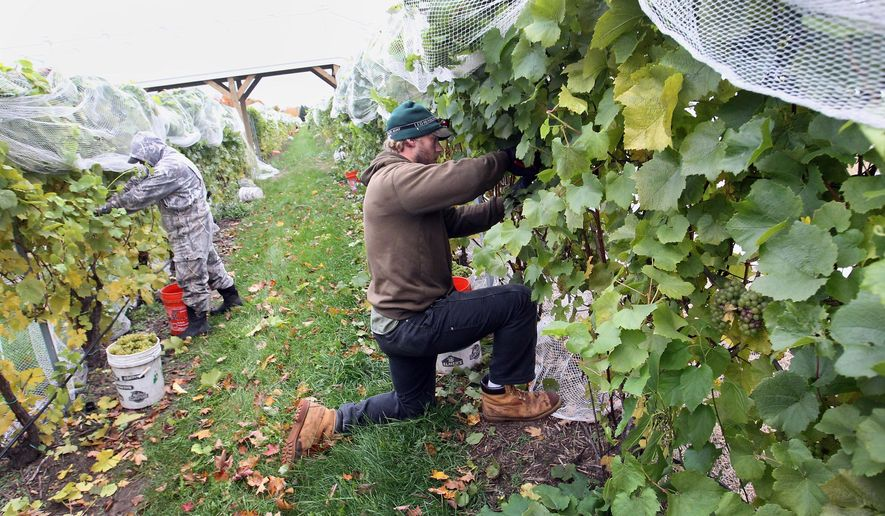 FILE- In a file photo from Oct. 21, 2014, Jose Luis, left, and Patrick Rigan harvest chardonney grapes on at Brys Estate on Old Mission Peninsula in Traverse City, Mich. A benchmarking program focused on Michigan wineries and vineyards could help managers hone in on higher profits. Traverse City-based North Coast Ag Advisors, Farm Credit East and Greenstone Farm Credit Services in May, 2015, combined forces to launch the Michigan Winery & Vineyard Benchmark Program of Michigan. It is modeled on an existing benchmarking program that serves winemakers in the northeast U.S., according to the Traverse City Record-Eagle.  (Jan-Michael Stump/Traverse City Record-Eagle via AP)