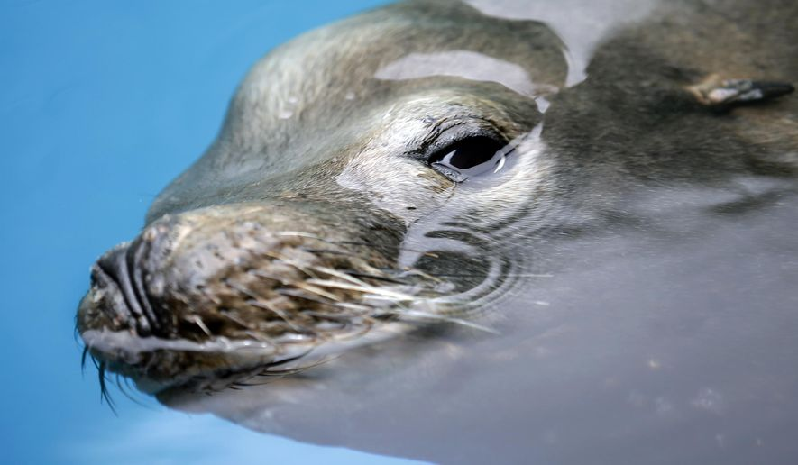A giant sea lion, nicknamed Bubba, swims in a recovery pool at SeaWorld San Diego's animal rescue center Wednesday, May 27, 2015, in San Diego. The sea lion, impaled by a homemade spear, is recovering at SeaWorld after being rescued just off the Southern California coast. (AP Photo/Gregory Bull)