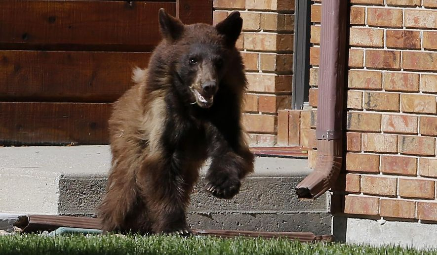 A black bear runs through the front yard of a home Wednesday afternoon, May 27, 2015 in Casper, Wyo. The bear was spotted multiple times throughout the day in east Casper. Game wardens eventually located the bear sleeping under an aspen tree in a residential area and tranquilized it.  Regional wildlife coordinator Justin Binfet says the bear was probably a scared yearling that found itself in an unfamiliar place after being forced out early by its mother. (Alan Rogers/The Casper Star-Tribune via AP)   MANDATORY CREDIT
