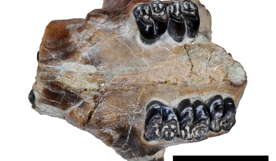This undated photo provided by John Day Fossil Beds National Monument paleontologist Joshua Samuels in May 2015 shows a portion of the fossilized skull and teeth of an ancient beaver found at the John Day Fossil Beds National Monument in eastern Oregon. Samuels says the fossil is significant because it represents a newly described species, Microtheriomys brevirhinus. Unlike other ancient beaver species found at the monument, his one appears to be related to modern beavers. (Joshua Samuels/National Park Service via AP)