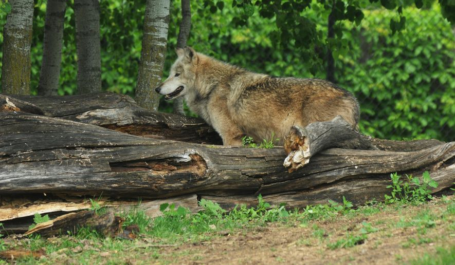 One of three wolves at the Menominee Park Zoo in Oshkosh, Wisc.  A fourth wolf had to be put down after biting a child that got into a staff only area on May 22, 2015.  Rebel the alpha male had to be put down after the incident. (Joe Sienkiewicz/Oshkosh Northwestern Media via AP)
