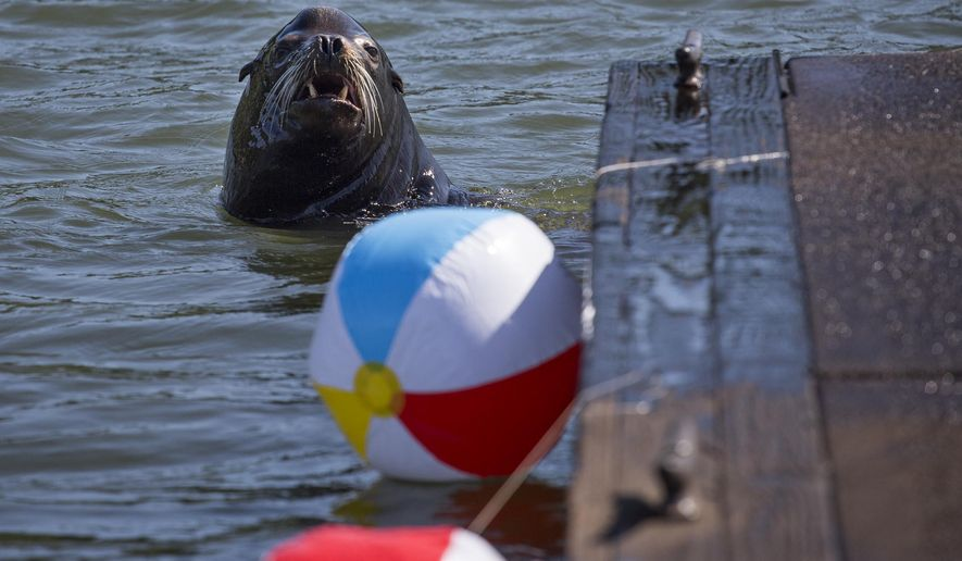 In this May 26, 2015 photo, A California sea lion swims by beach balls tied to a dock in the East End Mooring Basin in Astoria, Ore. The Port of Astoria is attempting to use the beach balls as a sea lion deterrent according to the Daily Astorian. (Joshua Bessex/Daily Astorian via AP)