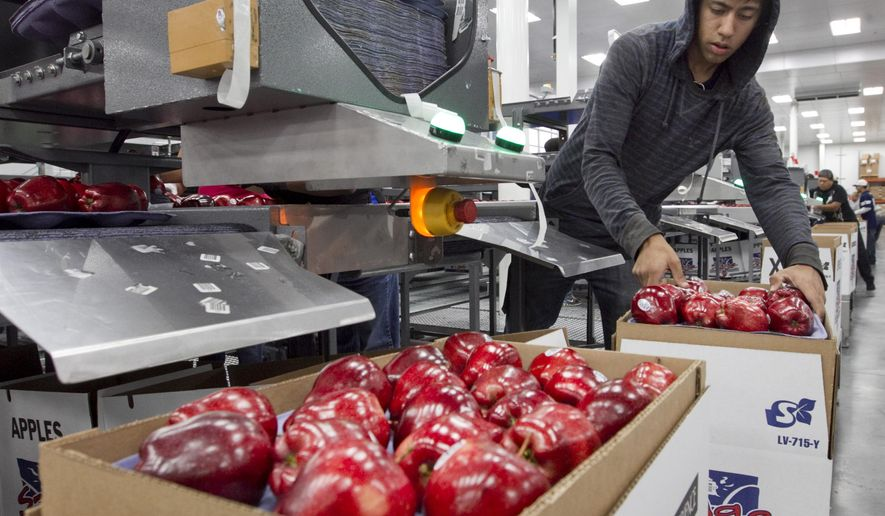 FILE - In this Oct. 13, 2014, file photo, Alfonso Martin helps pack apples for export at Valicoff Fruit in Wapato, Wash. A record crop of apples, coupled with the West Coast port slowdown earlier this year, is taking a toll on Washington apple growers. Nearly $100 million worth of apples that cannot be sold have been dumped into fields across central Washington, the nation's most productive apple region. (Gordon King/Yakima Herald-Republic via AP, File)