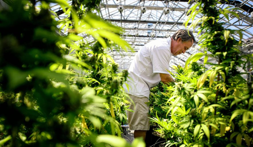 In this photo taken on Tuesday, May 5, 2015, Guy Lindblom picks unnecessary leaves from mature cannabis plants so they can concentrate more of their energy into the flowering buds where the medicinal chemicals are produced at a greenhouse in Otsego, Minn. The crop is coming in at Minnesota Medical Solutions, one of two manufacturers who will be supplying the state's medical marijuana. (AP Photo,Star Tribune,Glen Stubbe, File)